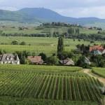 F68.Vignoble de Mittelwihr/Mittelwihr vineyard