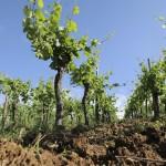 Vigne en Alsace